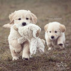 "love my golden — cutepetclub: From @clari_calahari: ""Exploring..."