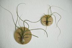 plantas sin agua! Las plantas aéreas son de bajo mantenimiento y sobreviven cogiendo nutrientes del aire alrededor suya a través de sus hojas.