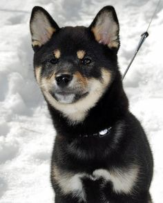 Hachi is a mischievous Shiba Inu who lives in New Jersey. Japanese Dog Breeds, Japanese Dogs, Shibu Inu, Shiba Inu Mix, Snow Dogs, Akita, Humane Society, Rottweiler, Best Dogs
