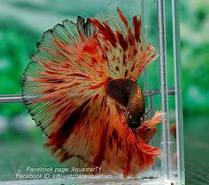 Summary: Betta Fish also known as Siamese fighting fish; Mekong basin in Southeast Asia is the home of Betta Fish and is considered to be one of the best aquarium fishes. Pretty Fish, Cool Fish, Beautiful Fish, Animals Beautiful, Betta Fish Types, Betta Fish Care, Betta Aquarium, Freshwater Aquarium Fish, Colorful Fish