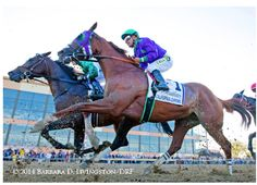 California Chrome - A gorgeous picture of Power - as he powers down the track during the 2014 Pennsylvania Derby.