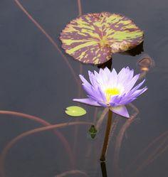 Resting waterlily.