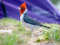 Cardenal - Pájaros argentinos