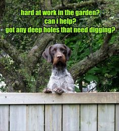 hard at work in the garden? can i help? got any deep holes that need digging? - Funny pictures and memes of dogs doing and implying things. If you thought you couldn't possible love dogs anymore, this might prove you wrong. Animal Captions, Funny Animal Photos, Funny Captions, Funny Animal Memes, Cute Funny Animals, Cat Memes, Funny Cute, Dog Pictures, Funny Dogs