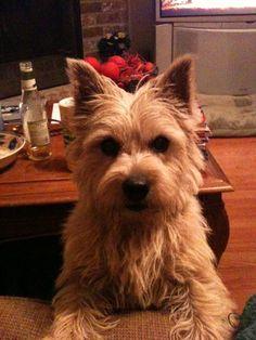 My sweet (evil) Norwich Terrier, Dixie :)