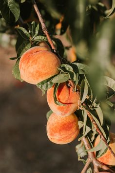 Photo by Jared Subia on Unsplash Peach Fruit, Ripe Peach, Coral Pictures, Yummy Smoothie Recipes, Perfect Peach, Healthy Green Smoothies, Leaf Images, Peach Trees, Flowers