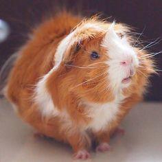 The Guinea Pig Daily: Momo