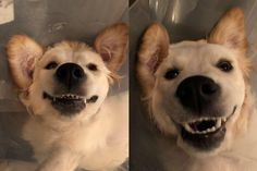 7 month old Golden Retriever making the most out of life in her cone of shame #cute #dogs #dog #aww #puppy #adorable