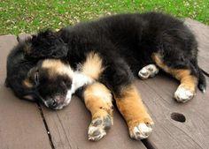 Collie/German Shepherd mix puppy