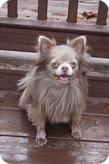Pomeranian For Adoption, Pet Adoption, Pomeranian Mix, Rescue Dogs, Animal Rescue, Merle Chihuahua, Greensboro North Carolina, Pet Life, Old Dogs