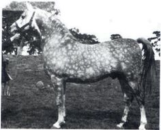 ELECTRIC SILVER 1949 gr.m.-Rathka x Silfina by Indian Gold. 100% Crabbet