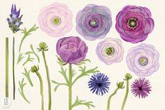 Watercolor purple ranunculus - Illustrations - 3