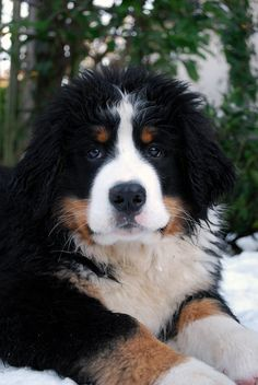 One day I would love a Bernese Mountain Dog to run with me in the mountains