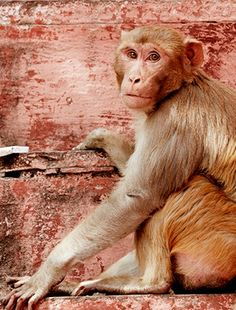 Private jet guests spotted this playful monkey roaming the streets of Agra.