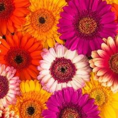 Multi-coloured Gerbera flowers Canvas Art - Assaf Frank (24 x 24)