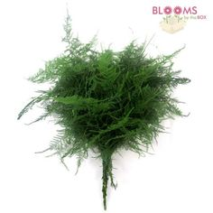 Whole Plumosus Fern Asparagus Gr Plumosa Blooms By The Box