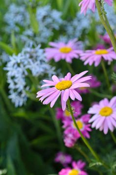 Tanacetum Coccineum, Painted Daisy, Pyrethrum, Chrysanthemum Coccineum, Pyrethrum Coccineum, Pyrethrum Roseum, Chrysanthemum Roseum, Red flowers, Pink Flowers