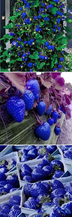 US$2.99 500Pcs Blue Strawberry Rare Fruit Vegetable Seeds Bonsai Edible Garden Climbing Plant