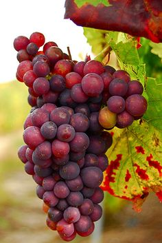 Grapes. They're tasty, good for you, and they can make booze.