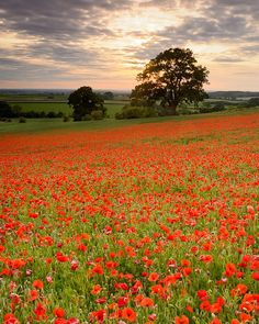 Poppies at sunset by Joe Wright, via Flickr