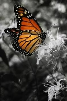 No:2 of 33 Awesomely Cool Color Splash Pictures   Pretty Butterfly!
