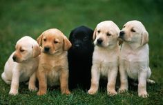 10 Amazing Facts About Labrador Retrievers - Champion Dogs Labrador Retrievers, Golden Retriever, Retriever Puppies, Lab Puppies, Cute Puppies, Cute Dogs, Puppy Husky, Samoyed Dog, Dog Photos