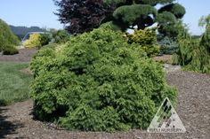 Cryptomeria japonica Elegans Nana:  Deer Resistant The winter color of this conifer, purple-red, makes the rounded, somewhat conical shrub a standout in the winter scene. The rest of the year, the attractive, slow-growing form has soft, feathery, blue-green foliage.