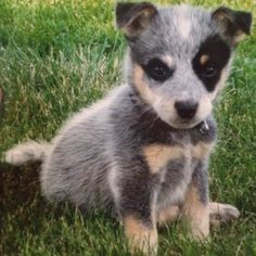 blue healer puppy...my heart just melted! This is the one I want the most!! :)