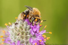 The life of solitary, native bees and how to help them.