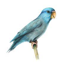 41 Best Mr Maui Parrotlet Images Parakeets Pacific Parrotlet