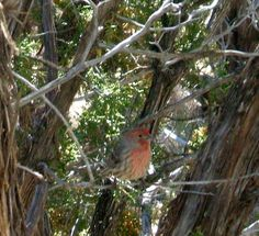 house finch in tree outside the window  they're so cute