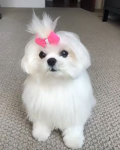 Check our some more cute fluffy puppies or dogs videos looking so adorable by clicking on the given contact if needed Cute Fluffy Puppies, Cute Baby Puppies, Cute White Puppies, Shitzu Puppies, Cute Little Animals, Cute Funny Animals, Funny Dogs, Maltese Dogs, Mini Maltese