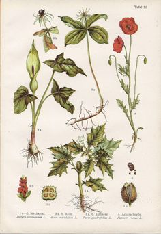 botanical illustration - Google Search