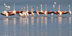 Nature's Jewel in the crown by TracyGymellasPhotography on YouPic Canon Eos 1100d, The Crown, Kos, Flamingo, Greece, Island, Nature, Jewel, Salt