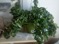 I found this at my local grocery store, and i love it, but I don't know what it is, so I don't know how to care for it. Hindu Rope Plant, Cat Safe Plants, Hoya Plants, Grocery Store, Indoor Plants, Planting Flowers, Mystery, Image, Eye Candy