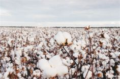 Sprouting clouds, aka. Cotton plant