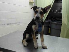 ★9/13/15 STILL THERE!★HOUSTON - This DOG - ID#A442230 I am a female, black and tan Australian Cattle Dog mix. The shelter staff think I am about 14 weeks old. I have been at the shelter since Sep 04, 2015. This information was refreshed 2 hours ago and may not represent all of the animals at the Harris County Public Health and Environmental Services.