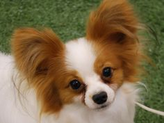 I want another Papillion....I have a tri-colored one now, I believe I'd like a sable colored one next.