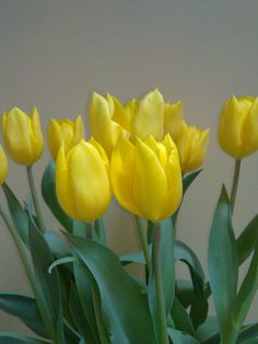 Yellow Tullips make me think of spring and Easter!