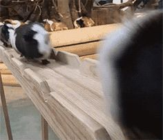Discover & share this Guinea Pig GIF with everyone you know. GIPHY is how you search, share, discover, and create GIFs. Animals And Pets, Funny Animals, Cute Animals, Cute Animal Photos, Cute Pictures, Pig Facts, Indiana, Baby Guinea Pigs, Mammals