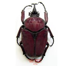 This is Fornasinus russus from Uganda.