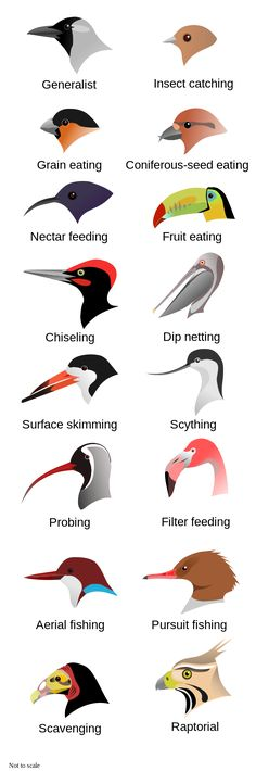Bird beak adaptations by L. Shyamal