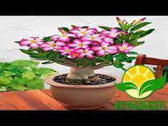 Rosa do Deserto - REPLANTIO - YouTube