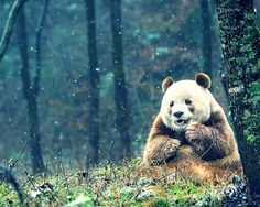 Qizai the only brown and White panda in the world! http://ift.tt/2qtMWVR