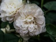 'William and Catherine' features a classic shallow cup shape and blooms to be pure white. It has a medium strength pure myrrh scent.