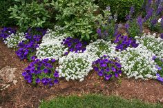 6-13-12:  Supertunia Royal Velvet Petunia and Snow Princess Lobularia (Alyssum) filling in very well so far. My only concern with this planting is if Snow Princess is going to take over as the Summer moves along. Time will tell...www.provenwinners.com