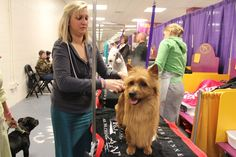 29 Dogs Getting Trimmed, Blow-Dried, And Powdered Backstage At The Westminster Dog Show