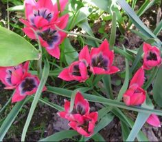 Tulipa hageri 'Little Beauty' (Tulipa hageri x Tulipa humilis), 15cm, will naturalise in drained even dry soil in summer, late April flowering.