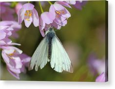 Small White Butterfly Acrylic Print featuring the photograph Small White Butterfly by Rumyana Whitcher