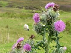 Scottish highlands pictures of sheep and thistle.  This photo was captured as we were driving in the highlands around the Isle of Skye